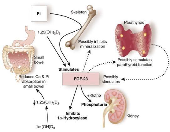 Azioni fisiologiche di FGF23 a livello renale