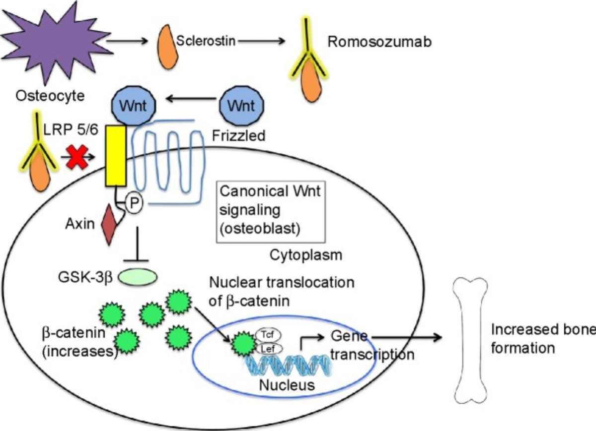 Romosozumab - meccanismo d'azione